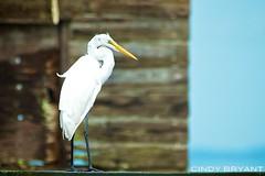 White Egret... standing still! (Flickrtographer) Tags: white bird nature wildlife beak feathers waterbird perched fl egret whiteegret merrittisland whitebird shorebird cindybryant photocontesttnc11 birdstnc11 sigma50th