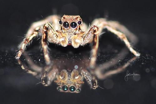 Gaya Arachnid by Faisal Farish