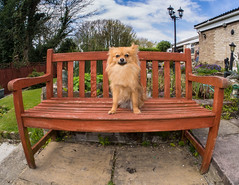 Pomeranian Boo on the seat. (CWhatPhotos) Tags: pictures camera portrait plants dog pet brown fish cute green eye face animal digital pen garden bench that lens lite four photography pom focus sitting foto with view image artistic pics dwarf seat sandy wide picture pic olympus images boo fisheye have photographs photograph fotos micro greenery colored manual pomeranian 35 olympuspen coloured which spitz fit contain 43 thirds pompom f35 75mm mft samyang esystem sanyang zwergspitz thelittledoglaughed cwhatphotos ldlportraits epl5 dwarfspitz