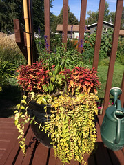 Black Container 2 2016 (daryl_mitchell) Tags: summer 2016 saskatoon saskatchewan canada home garden container neighbourhood wildwood salvia vinca lysimachia coleus flower