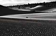 Walking alone - Sand Dune of Mui Ne in Vietnam  by Silva Wischeropp aka Silva Capitana (SILVA CAPITANA) Tags: dog dune landscape nature blackandwhite triplex abstract san sanddune vietnam asia southeastasia abstraction lines shapes forms animal alone walk walking black white grey mono monochrome ambient darkambient desert lonelyness blackdog wilddog wildness muine sandwaves photography trees forest photo analog film analogphotography asianimpression travel adventure mystic mysticfeeling meditation silence freedom peace love lovers geo geographic geographical geography national reportage vietnameseculture asian culture