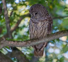 I Spy Dinner (benemme) Tags: barred owl congaree national park hike wildbird wildlife birdsofprey birding nikon d7200
