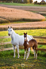 shelleypaulson_2009-82-1 (Shelley Paulson) Tags: arabian equine field foal grey horse mare minnesota pinto summer sunset