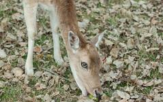 deer (Janne Fairy) Tags: deer roedeer roe reh rehe hirsch wildtier wild animal tier tiere wald forest canon canon500d eos500d vista doeeyes rehaugen kastanie chestnut conker