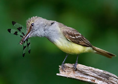 _53F5354 Great Crested Flycatcher with dragonfly (~ Michaela Sagatova ~) Tags: bird nature bug feeding dragonfly nesting flycatcher greatcrestedflycatcher myiarchuscrinitus birdphotography feedingyoung thewonderfulworldofbirds michaelasagatova allnaturesparadise