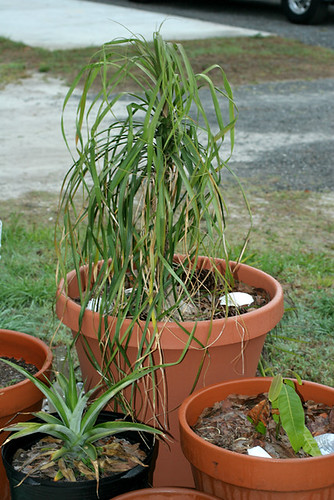 Ponytail-Palm-Etc.
