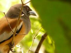 P1160259 (babsybou) Tags: travel india birds silent watching kerala du valley yatra sud inde attapadi birdswatching babsybou malleeshwaramjunglelodge pettickal