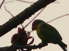 P1150621 (babsybou) Tags: travel india birds silent watching kerala du valley yatra sud inde attapadi birdswatching babsybou malleeshwaramjunglelodge pettickal