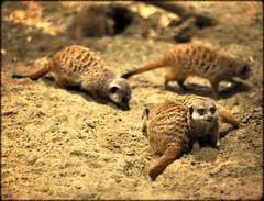 Meerkats (Michelle*G) Tags: meerkat norwalk maritimeaquarium processedwithflare