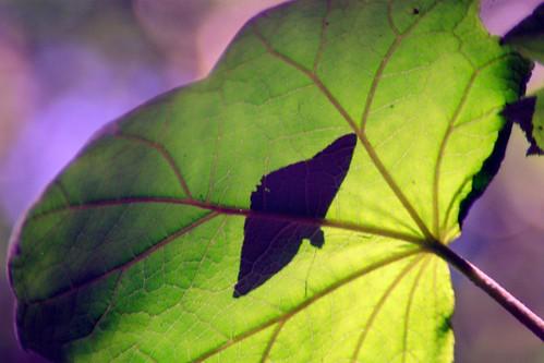 butterfly on leaf, Monteverde, Costa Rica