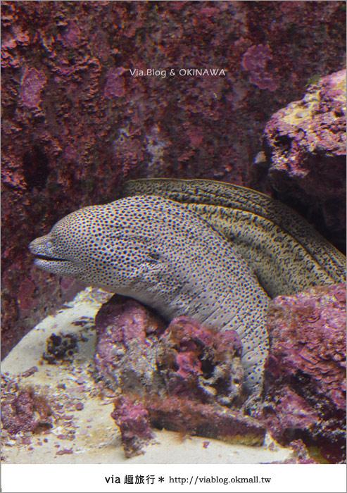 【沖繩景點】美麗海水族館~帶你欣賞美麗又浪漫的海底世界!16