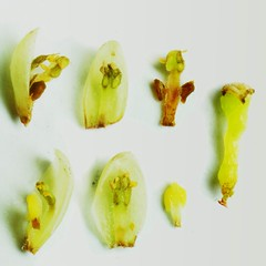Lauraceae Cinnamomum reticulatum (taiwanicus) Tags: pistil stamen ovary gland  tepals  valvedehidscence