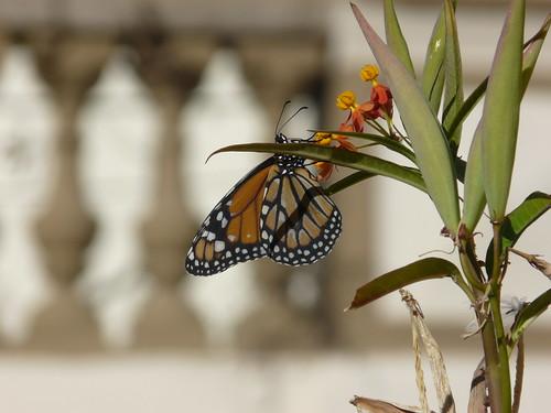 Mariposa Monarca by Mi Monarca