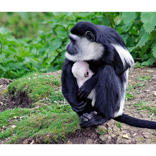 Black and white colobus