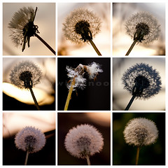 Weeds (sallykelso) Tags: sunset weeds seed dandelion heads backlit
