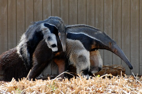 Giant Anteater and Baby by pastorbuhro, on Flickr
