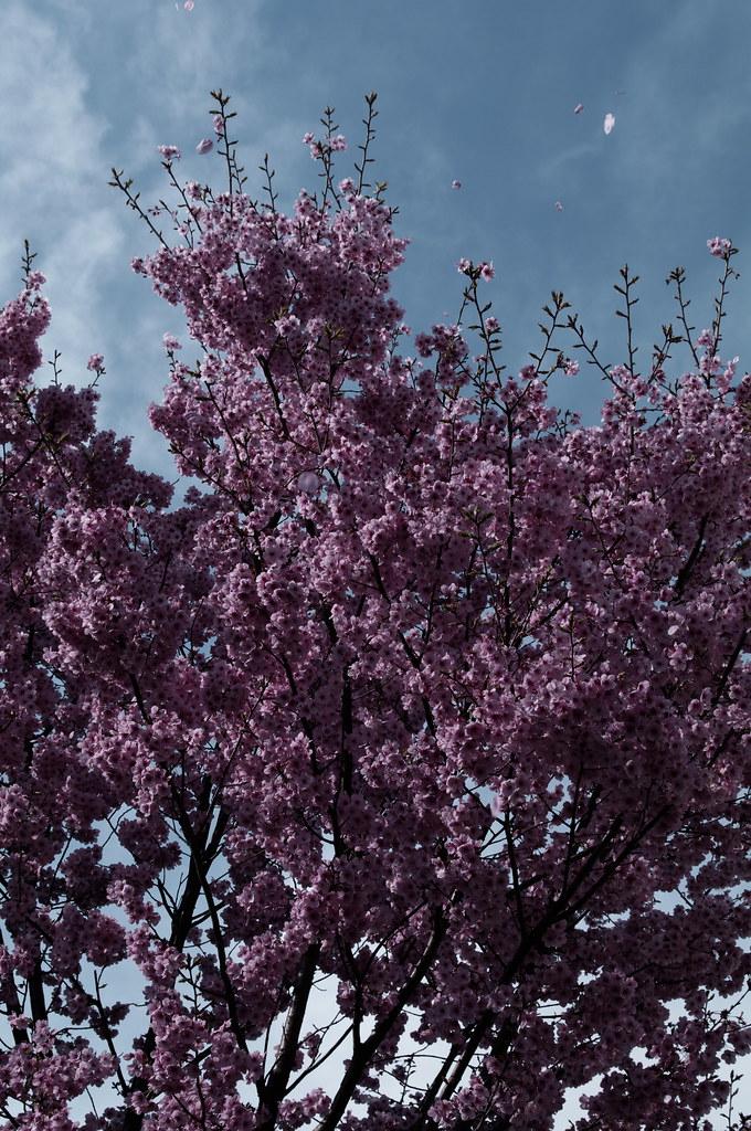 桜散る PRAY FOR JAPAN