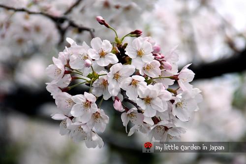 Sakura-in-Tokyo-5