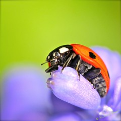 Keep Holding On (Richard Beech (rdb75)) Tags: macro nature beetle dorset ladybird ladybug muscari grapehyacinth 2011 sevenspotladybird radipole sigma15028macro richardbeech rdb75
