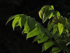 The magic of  light (kg.abhi) Tags: light sunlight india green nature leaf availablelight monsoon kolkata bengal abhijit filteredlight sunsettime magicoflight madhyamgram