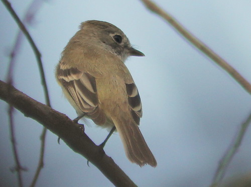 Least Flycatcher 2-20110414
