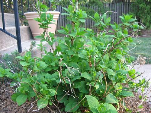 endless summer hydrangea 4-14-11