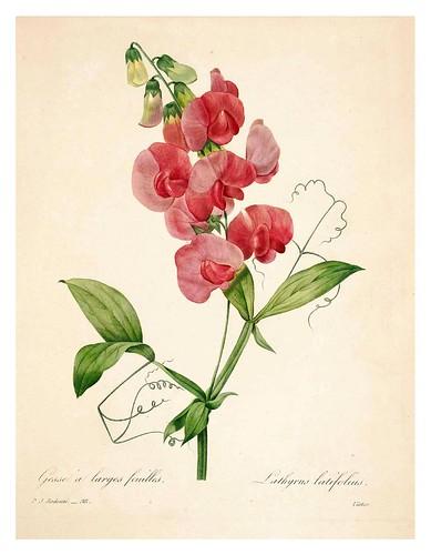 013- Lathyrus latifolius-Choix des plus belles fleurs…1827- P.J.Redoute