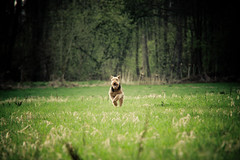 Running (Sebastian-Ziegler) Tags: summer dog pet pets dogs nature animal animals tiere nikon sommer natur meadow wiese running racing terrier hund rennen hunde airedale tier clearing airedaleterrier lichtung d700