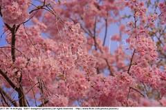 2011-04-14 0634 Sakura, Prunus serrulata, the weeping cherry tree blossoms (Badger 23 / jezevec) Tags: park pink flowers flower tree cherry spring blossom indianapolis blossoms indiana anh bloom  flowering sakura blooms holliday weeping hoa blooming prunus cerezo weepingcherry    kirschblte   jezevec cvijet serrulata shidarezakura prunusserrulata o krsbr   cseresznyevirg japanskt  hoaanho kirsuberjatr badger23 namumulaklak  trenjin    seresang trenjincvijet