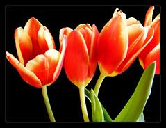 ShinE (Dr_Tariq) Tags: uk red black flower color macro green london beauty flora frame bunch tariq