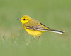 Yellow Wag on Bokeh (Andrew Haynes Wildlife Images) Tags: bird nature rugby warwickshire yellowwagtail draycotewater canon7d ajh2008