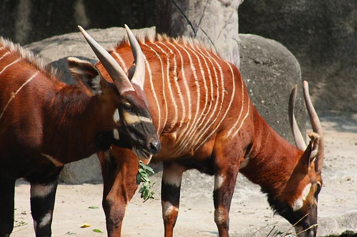木柵動物園(斑哥羚羊)019