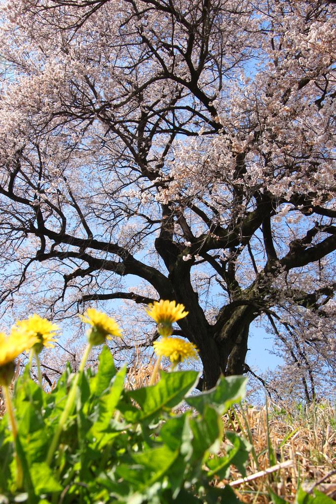 Sakura Photo 2011Wanizuka cherry blossom (11)