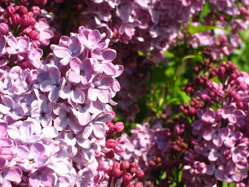 Lilac at Kew Gardens
