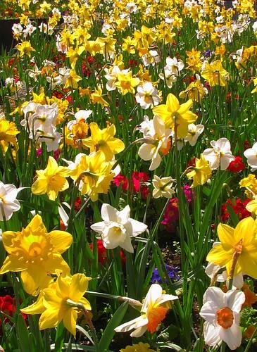 Belfast Daffodils