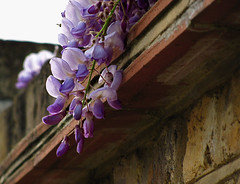 Wisteria (Solène.CB) Tags: street city urban flower london nature fleur interestingness cool interesting flora purple wisteria glycine solènecb