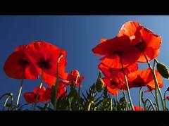 La verdad de lo eterno !!! (Misael Lacasta) Tags: sunset red flores color verde green sol field rojo tramonto campagna poppy campo fiori sole rosso puglia papaveri amapolas amapola misaellacasta