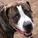 Found Brindle Pitbull Mix Dog in Colorado Springs, CO on April 17th, 2011, Needs a Home too ...