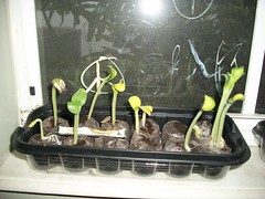 Pumpkin Sprouts