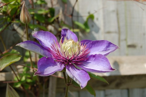 Clematis 2 by Whisperin' Al