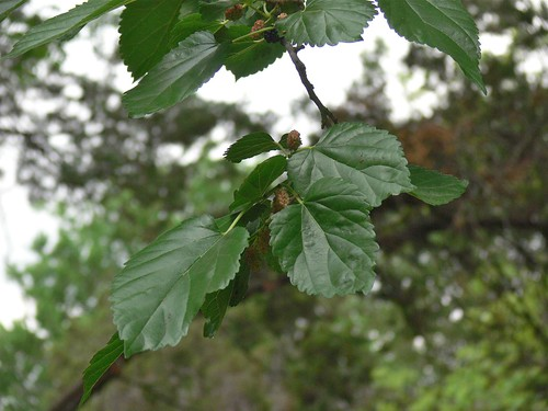 Mulberry Tree - 1