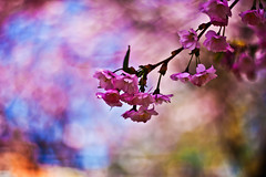 Cherry blossom and bokeh (explored) (Sina Farhat) Tags: flowers blue trees friends light color colour canon garden gteborg cherry spring colorful raw transformation time blossom sweden bokeh background details gothenburg shapes lila lilac short photowalk theme sverige former colourful tid vnner trd trdgrd vr gteborguniversitet bl 031 kort wideopen autofocus tema ljus kodak160vc detaljer blommer primelens 50d bakgrund skrpedjup nikcolorefexpro canon50mm14usm liveview lightroom3 fotopromenad helppen omvandling frgfylld
