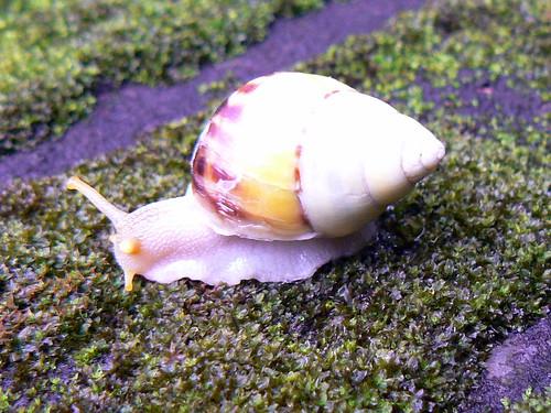 Bali snail