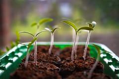 Tomato plant (Lieutenant Tibs) Tags: plants macro green home field canon tomato shoot bokeh grow seed vegetable soil 7d tray growing shallow compost depth windowsil pellet propogator