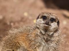 Simples (Envisaged) Tags: park animal meerkat fife simples fifeanimalpark meerkovo
