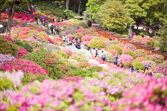 azalea festival (sachan) Tags: plant flower shrine azalea  torii