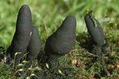 Fruiting bodies of Xylaria polymorpha resemble blackened fingers. Photo courtesy of John Hartman, Univ. Kentucky.