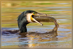 Bon appetit! (hvhe1) Tags: fish bird nature water animal dinner river wildlife natuur catch cormorant prey pike waterfowl vis dier vogel aalscholver snoek phalacrocoraxcarbo prooi vangst specanimal hvhe1 hennievanheerden avianexcellence