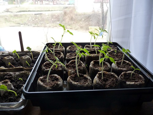 Tomato Seedlings fertilized