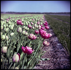 will you pardon me? (:lynn:) Tags: pink film netherlands mediumformat tulips mf greatwall egmond sundaydrive closetohome kodakportra160nc sunny16 greatwalldf2 greatwallcamera